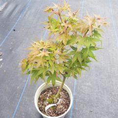 sekka Yatsubusa medium Japanese Maple at Maples N More plant nursery