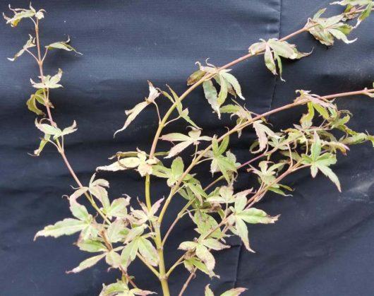 Asagi Nishiki Japanese Maple at Maples N More plant nursery