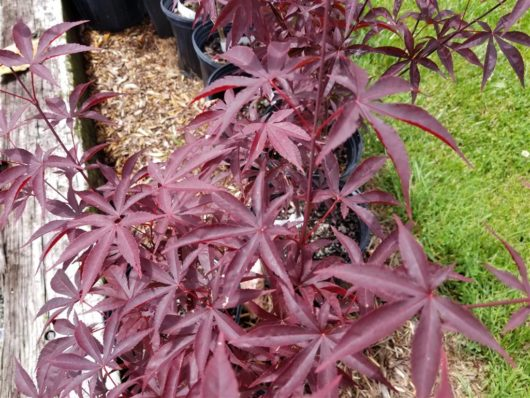 Emperor Japanese Maple at Maples N More plant nursery