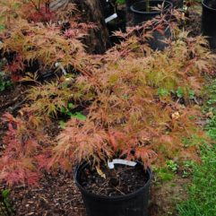 Baldsmith Japanese Maples at Maples N More plant nursery
