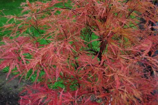 Baldsmith Japanese Maple, closeup