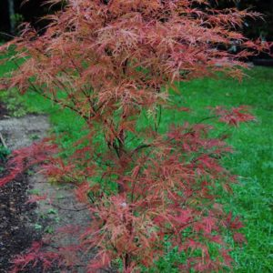 Baldsmith fall leaves - Japanese Maples at Maples N More plant nursery