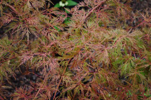 Baldsmith Japanese maple fall leaves, closeup