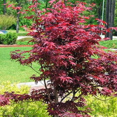 Bloodgood Japanese Maples at Maples N More plant nursery