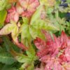Chishio spring color - Japanese Maples at Maples N More plant nursery
