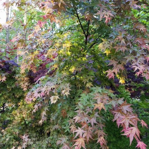 chishio Improved Japanese Maples at Maples N More plant nursery