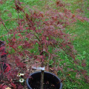 Garnet Japanese Maples at Maples N More plant nursery