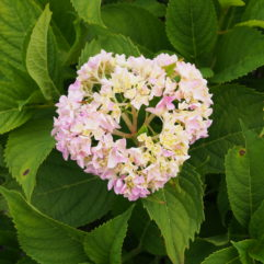 Hydrangea All Summer Beauty at Maples N More Plant Nursery