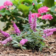 Lo & Behold® Pink Micro Chip Butterfly Bush at Maples N More Nursery