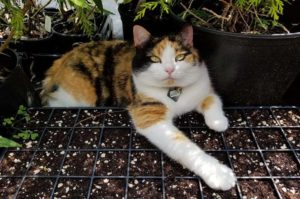 Lucy The Cat, Head Mouser at Maples N More plant nursery
