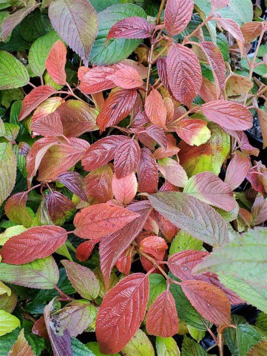 Mariesii Virburnum fall at Maples N More Nursery