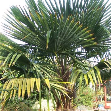 Palm at Maples N More plant nursery
