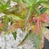 Radiant Japanese Maple at Maples N More plant nursery