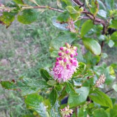 Ruby Spice Clethra at Maples N More plant nursery