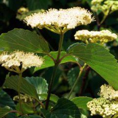 Viburnum Arrowood at Maples N More Plant Nursery