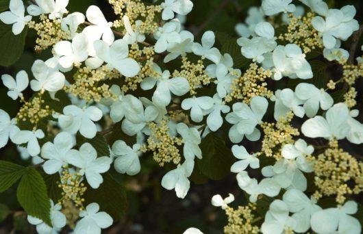 Doublefile Viburnum flowers at Maples N More Plant Nursery